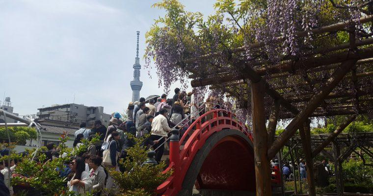 Festival del Glicine al Santuario Kameido Tenjin