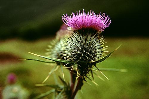 azami fiore del cardo